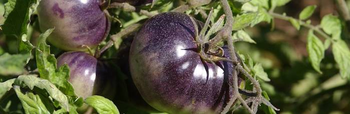 Purple tomatoes For cancer prevention